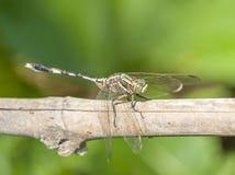 Dragonfly с зеленой предпосылкой стоковое изображение rf