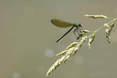 Dragonfly с добычей Стоковое фото RF