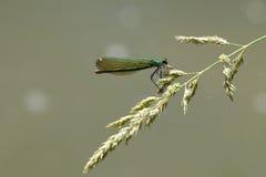 Dragonfly с добычей стоковые фото