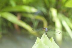 Dragonfly с лотосом Стоковые Изображения
