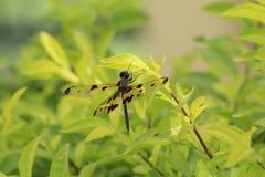Dragonfly с черными и прозрачными крылами с зеленой предпосылкой Стоковая Фотография RF