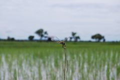 dragonfly тайский Стоковые Изображения