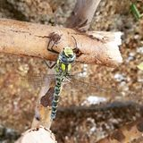 Dragonfly цвета Стоковые Фото
