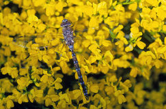 dragonfly цветет желтый цвет Стоковые Фотографии RF