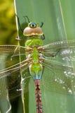dragonfly циклопов Стоковое Фото