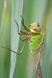 dragonfly циклопов Стоковые Фото
