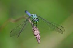 dragonfly чокнутый стоковая фотография rf