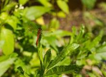 Dragonfly шарлаха на луге лета Стоковая Фотография RF