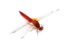 Dragonfly шарлаха (erythraea Crocothemis) изолированный на белизне Стоковое Фото