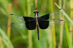 Dragonfly шумовки вдовы Стоковое фото RF