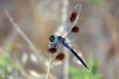 Dragonfly 02. A dragonfly sitting on a blade of grass near a Texas lake Stock Photography