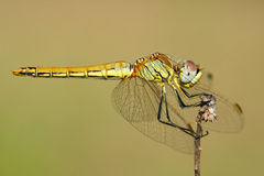 Dragonfly. Interesting long and narrow insect, resting on a branch. It can be found near water royalty free stock images