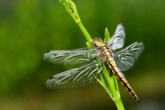 Dragonfly. Close up on the leaf Stock Images