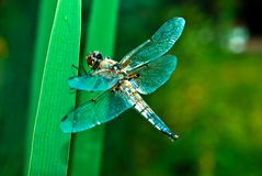 Dragonfly. Beautiful and delicate insect - dragonfly Stock Images