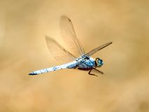 Dragonfly. Royalty Free Stock Photos