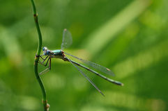 Dragonfly. An Emerald Damselfly on a stem with green background stock photos