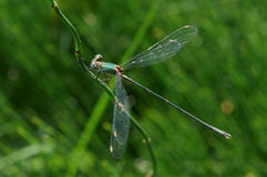 Dragonfly. An Emerald Damselfly on a stem with green background stock photo