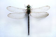 Dragonfly. Close-up royalty free stock photo
