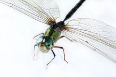 Dragonfly. Close-up royalty free stock image