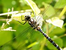 Dragonfly. Sitting on a flower Royalty Free Stock Photo