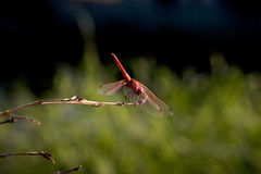 Dragonfly. A red dragonfly standing on a small branch of a dry plant Royalty Free Stock Photos