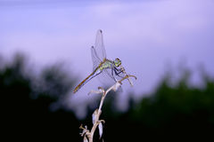Dragonfly. In dusk Stock Photos