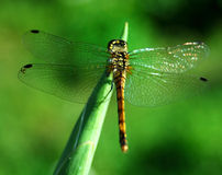 Free Dragonfly Royalty Free Stock Photography - 10689067