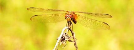 dragonfly стоковое фото rf