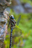 Dragonfly. Resting on a granite rock Stock Photography