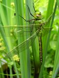 Dragonfly. Green dragonfly sitting on iris leaves stock image