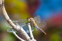 Dragonfly. A Dragonfly perched on a branch against a colorful background of autumn leaves and blue sky Stock Photos