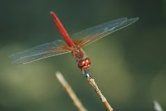 Dragonfly. The dragonfly sits on branches Royalty Free Stock Photography