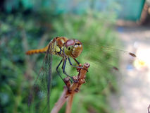 Dragonfly. A close-up shot of a dragonfly on a branch in Summer day Stock Images