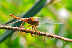 The dragonfly Stock Photography