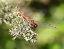 dragonfly Стоковые Изображения RF