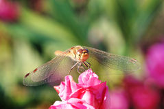 Dragonfly. A dragon fly at rest in teh sun Stock Photos