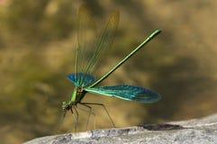 dragonfly Zdjęcie Royalty Free