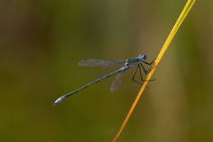 Dragonfly. Closeup of a dragonfly sitting on a twig Royalty Free Stock Photos