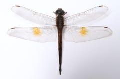 Free Dragonfly Royalty Free Stock Photo - 12050715
