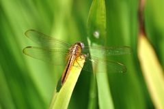 Dragonfly. A dragonfly perched on a leaf Royalty Free Stock Images