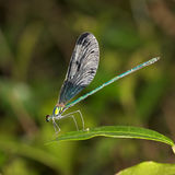 Dragonfly. A dragonfly on the tree leaf in northern of Thailand Stock Image
