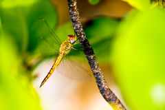 Dragonfly. A beautiful dragonfly with amazing details and colours Stock Images