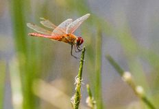 Free Dragonfly Stock Photography - 124328892