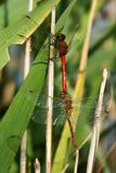 Dragonfly. Red dragonfly on the grass, verically framed picture royalty free stock photography