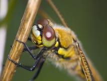 dragonfly Стоковые Фото