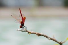 Dragonfly Royalty Free Stock Photos