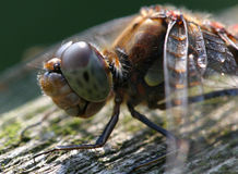 Dragonfly. Brown dragonfly on a wooden bench Stock Images