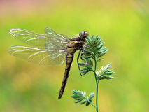 Dragonfly. With big wings on grass royalty free stock image