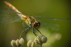 Dragonfly. (probably Yellow-winged darter - Sympetrum flaveolum) front view Royalty Free Stock Photography