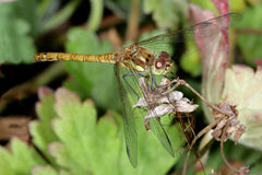 Dragonfly. Macro shot of a young Dragonfly drying his wings Stock Photography